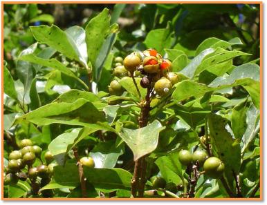 Pittosporum Viridiflorum Sims Pittosporaceae A Review On A