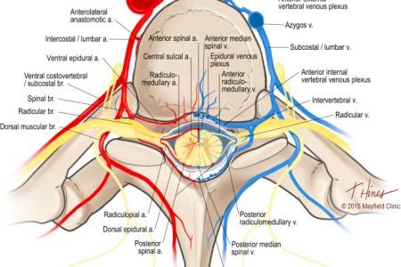 interior internal vertebral venous plexus » Full HD MAPS Locations ...