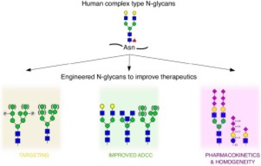 Customized protein glycosylation to improve biopharmaceutical ...