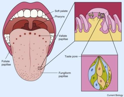 map of tongue taste buds » Agricshow | Nursery