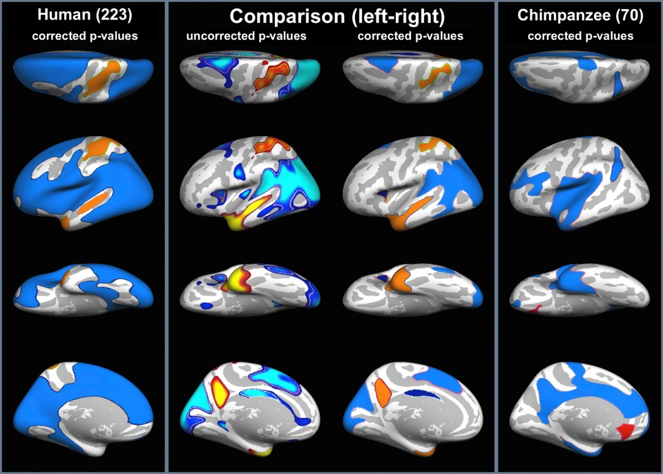 Species difference in left-right positional brain asymmetry (AsymLR). In columns 1 and 4, the regions with significant positional asymmetries (corrected p-value) are demonstrated for humans and chimpanzees respectively with hot colours indicating leftward deviations and cool colours for rightward deviations. Column 2 shows the p-value of the inter-species differences assessed using a statistical two-sample t-test between asymmetry maps of humans and chimpanzees on a vertex-by-vertex basis and column 3 shows the p-value corrected for multiple comparisons with hot colours indicating greater positional asymmetry in humans compared to chimpanzees and vice versa for cool colours. By the criteria adopted 69.8% of the surface in the AsymLR orientation in the human compared to 31.1% in the chimpanzee brain is classed as asymmetrical.
