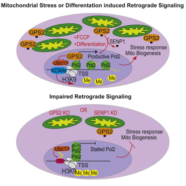 Mitochondrial Retrograde Signaling In Mammals Is Mediated By The