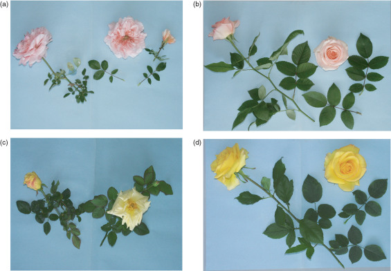 Rosa Rugosa An Overview Sciencedirect Topics