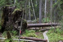 Helvetinjärven metsissä ei vältytä kaatuvilta... siis kaatuneilta puilta.