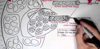 Myology - Skeletal Muscle (Structure)