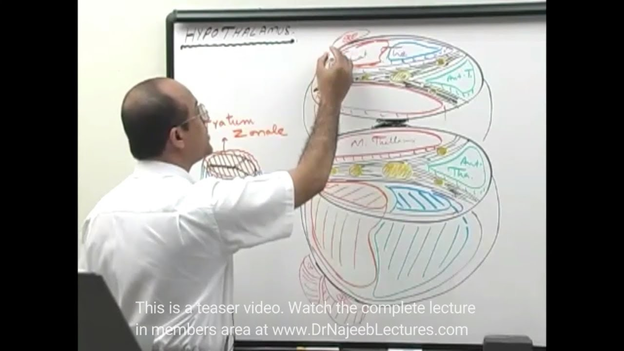 Thalamus - Structure & Function - Neuroanatomy - Dr  Najeeb