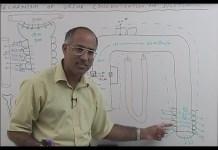 Urine Concentration & Dilution - Urinary System