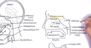 Clinical Anatomy - Nasal Cavity and Sinuses