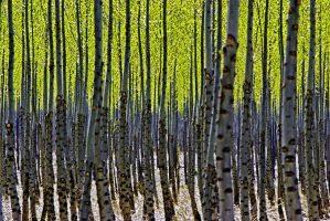 New Beginnings: Spring Trees, Image by Tom Glassman