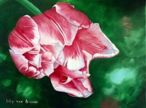 Melrose tulip