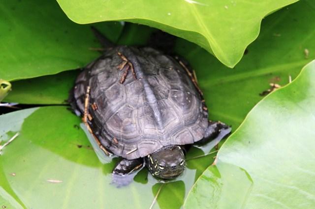 2012.06.18 三渓園 スイレン池にクサガメ