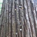 お賽銭だらけのチャンチンの木