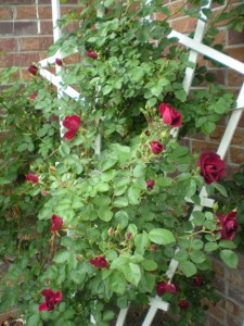 Red Rambler - 10 tips for growing beautiful roses, tip one: plant in a sheltered spot