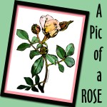 A Pic of a Rose Zazzle store button. Click to visit and shop.