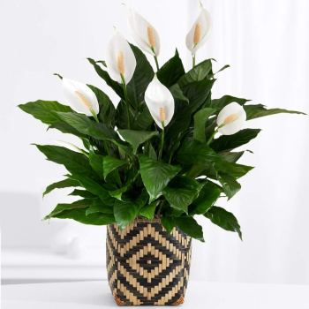 Housewarming Gifts | A potted houseplant