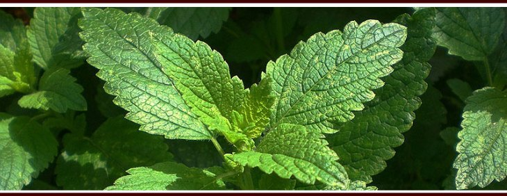 Plant Lemon Balm (or Beebalm) to repel mosquitoes
