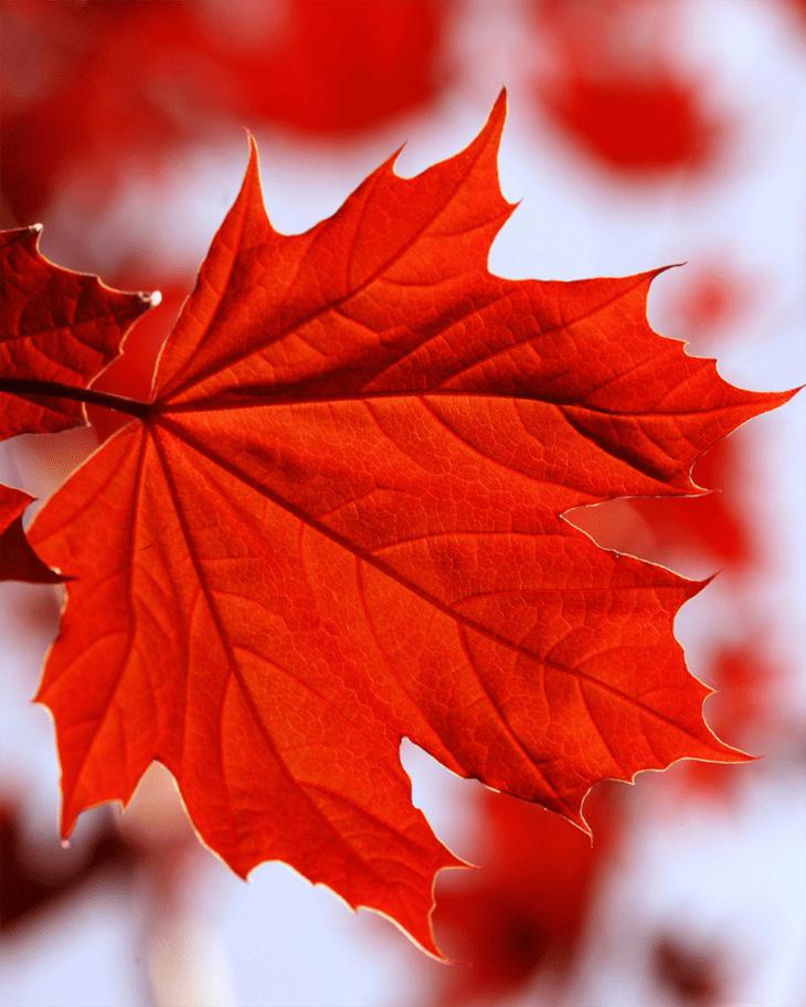 Red Maple Leaf DIY Fall Decor Printable