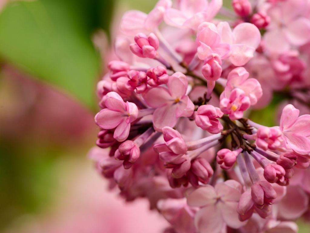 Beautiful Spring Flowering Crabapple Trees