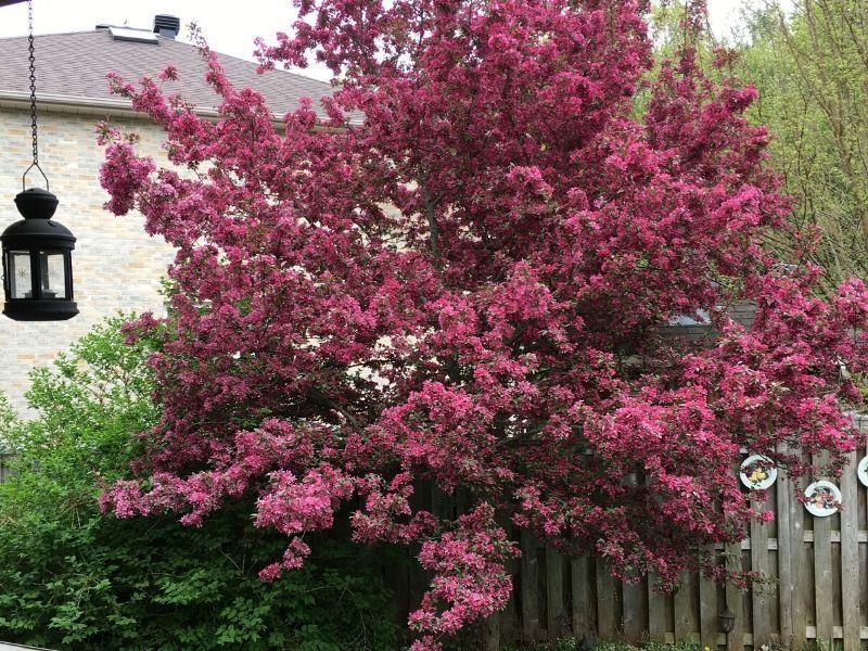 Flowering crabapple tree in full bloom