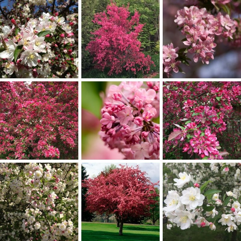 Flowering Crabapple Trees Collage