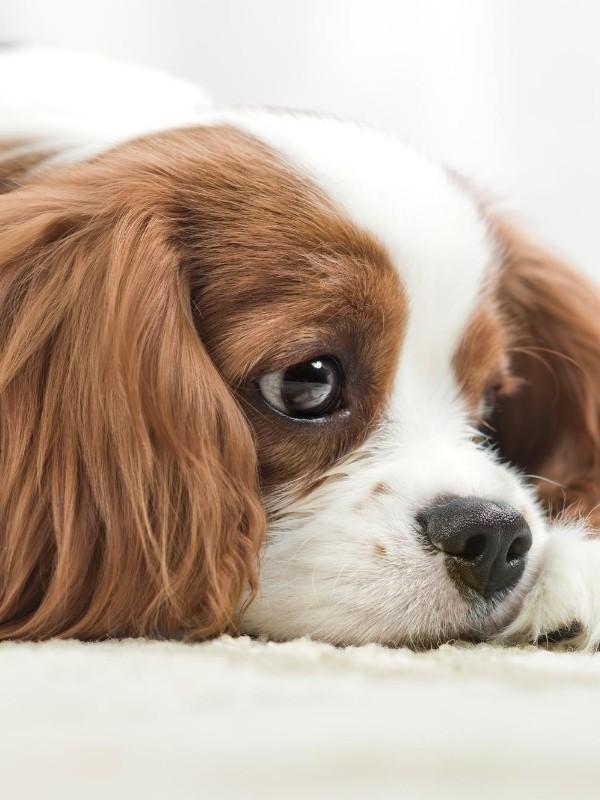 Cocker Spaniel Puppy Looking Sad