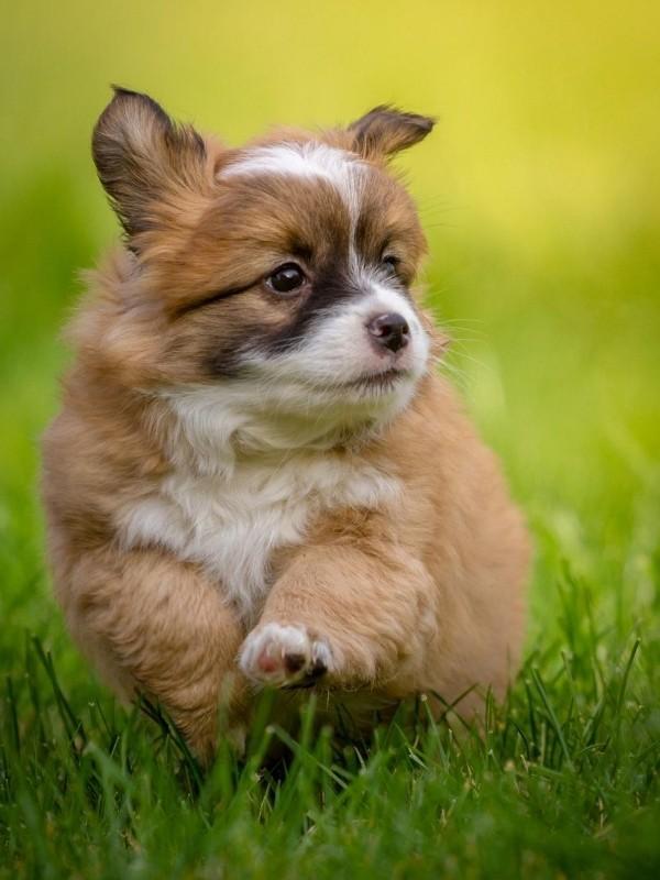 Cute Puppy Running Through Grass
