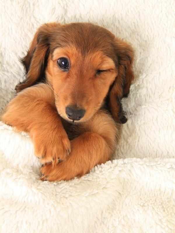 Daschhund Puppy Winking