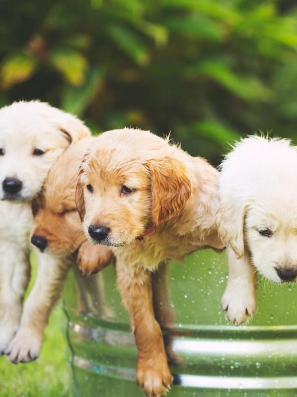 Lab Puppies in a Bath