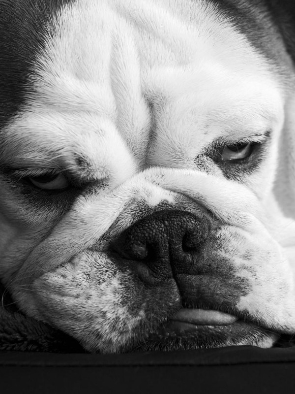 Very Grumpy Bulldog Puppy