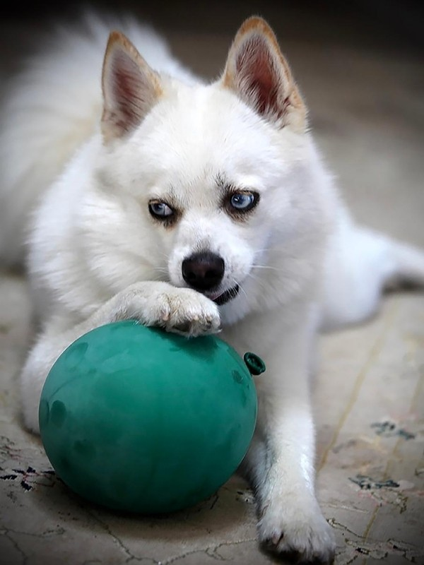 White Siberian Husky Puppy with Green Balloon
