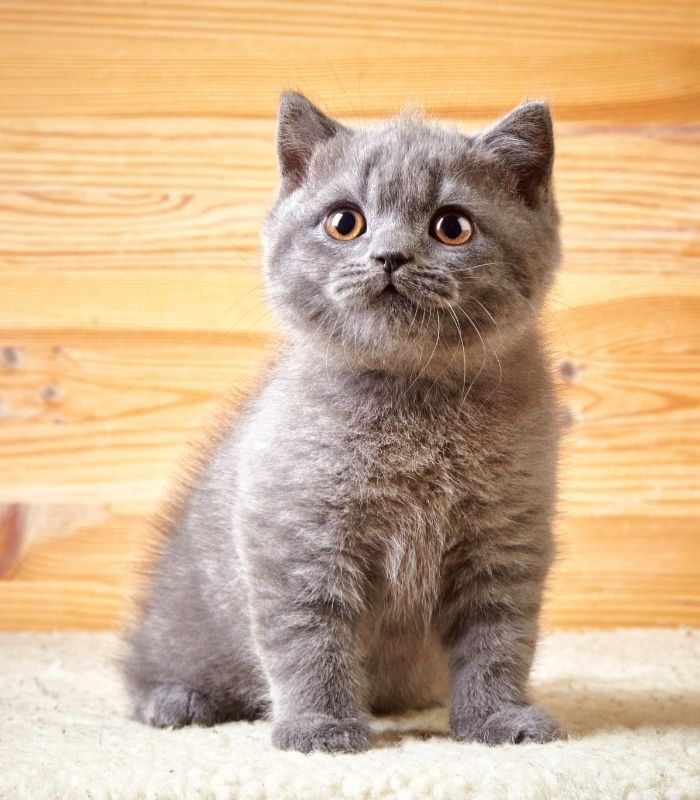 Cute Gray Kitten with Yellow Eyes