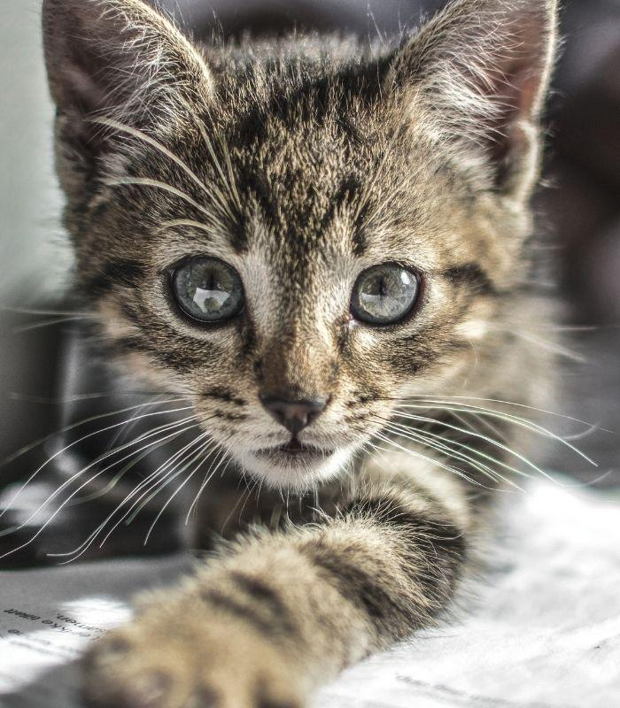 Cute Kitten Staring Into Camera
