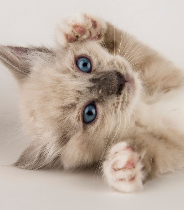 Cute Kitten With Blue Eyes Wanting Cuddles