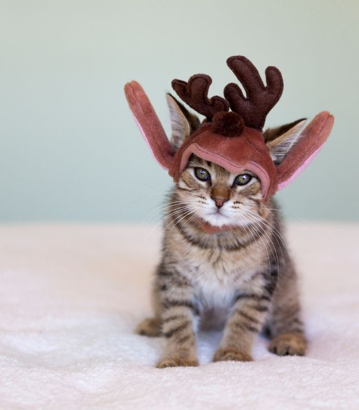 Cute Kitten in Reindeer Antlers