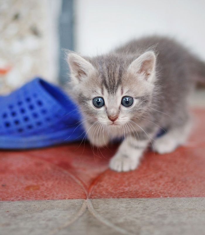Cute Light Gray Kitten Playing