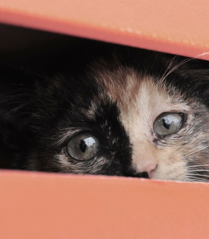 Kitten Hiding in a Box