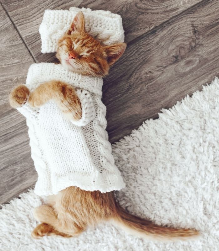 Orange Tabby Kitten Sleeping In a Sweater