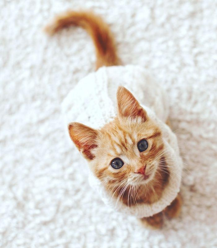 Orange Tabby Kitten Wearing White Sweater