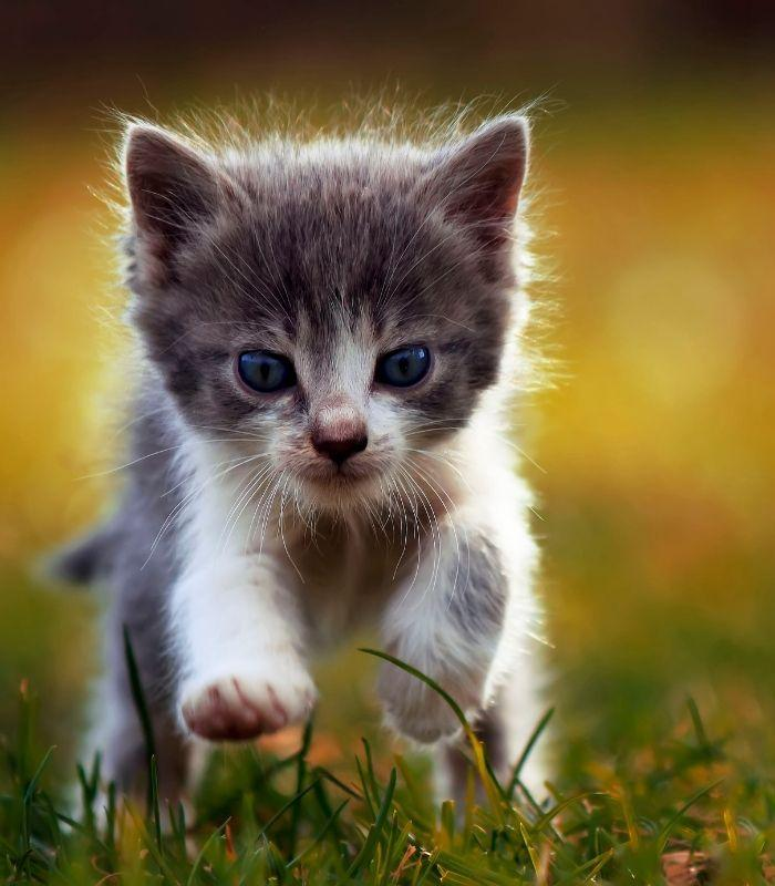 Playful Kitten Running in Grass