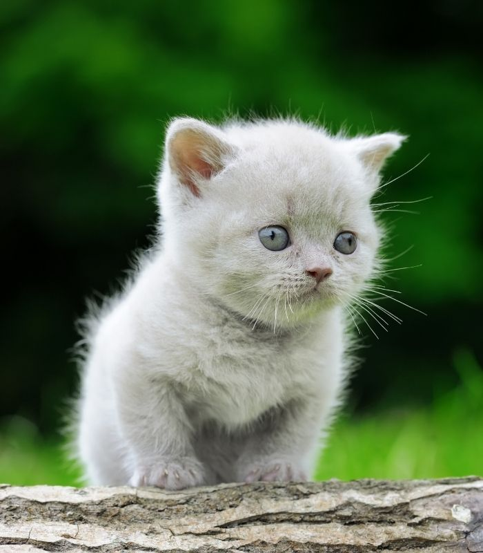 White Kitten Looking Scared