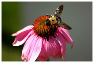 bumblebeeonconeflower.jpg