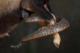ibex-snake