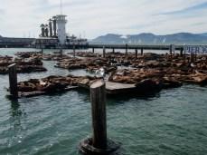 Big Pile of Sea Lions