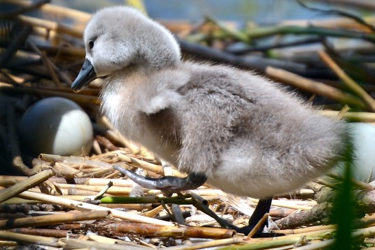 artborghi-ugly-duckling-28