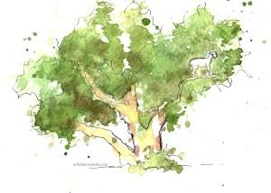 Morocco goat in argan tree