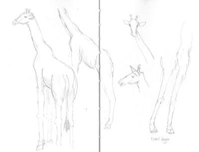 Zambia giraffe 2