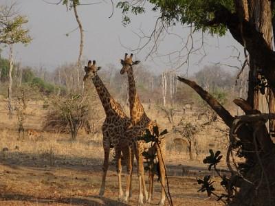 Zambia giraffe photo