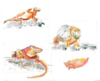Galápagos land iguanas