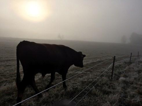 Dalarna / Karlsbyheden - The Black Cow