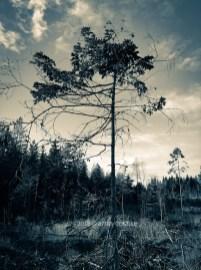 High Coast / Åte / Gvalsjön - The Pine